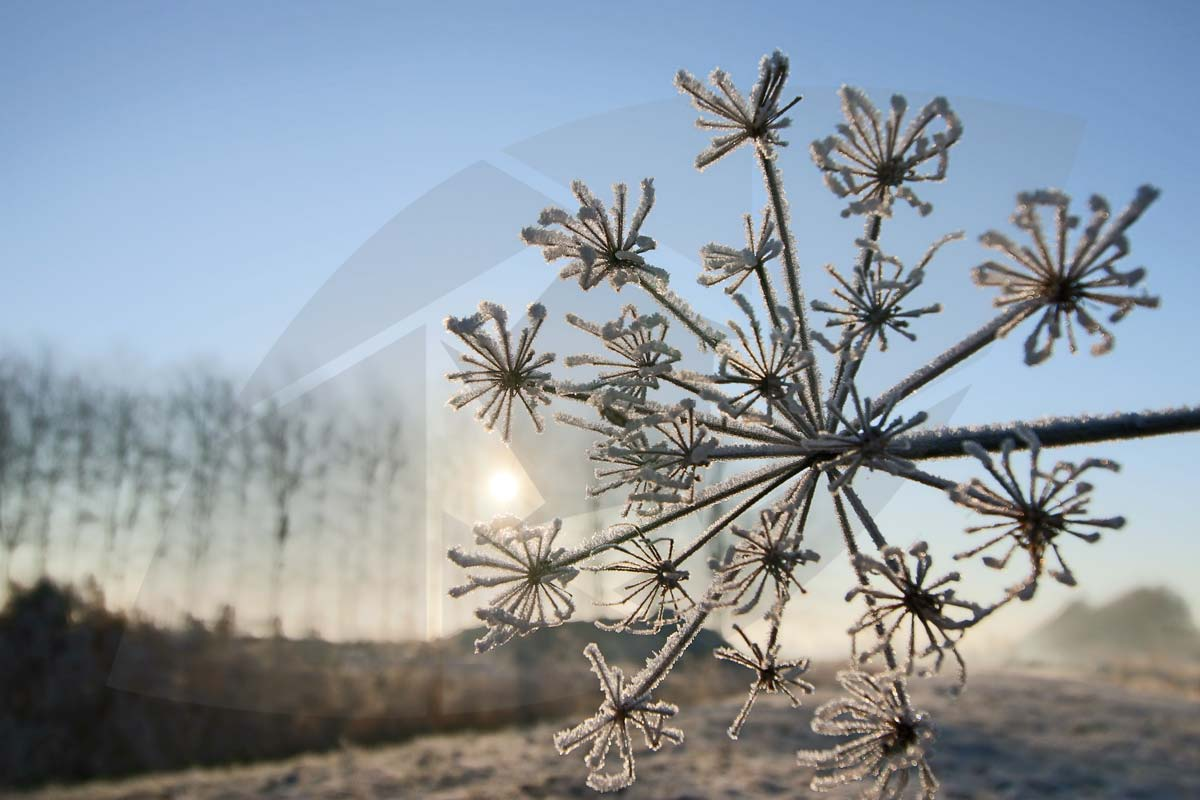 Hogweed in Ice